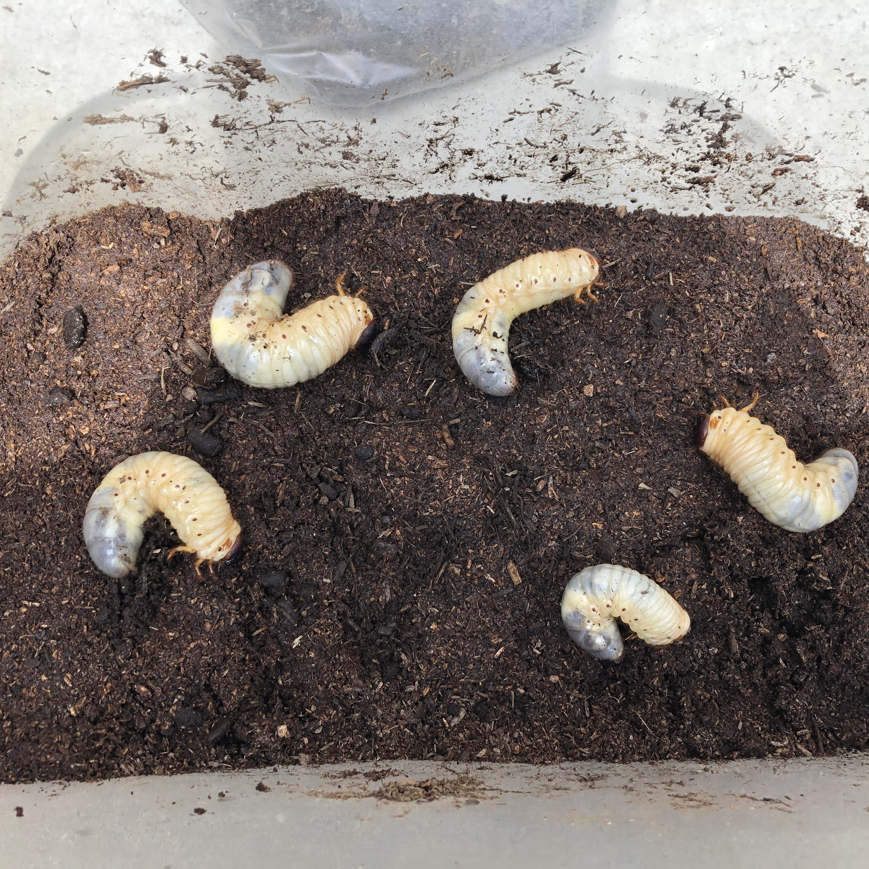 幼虫 さなぎ カブトムシ