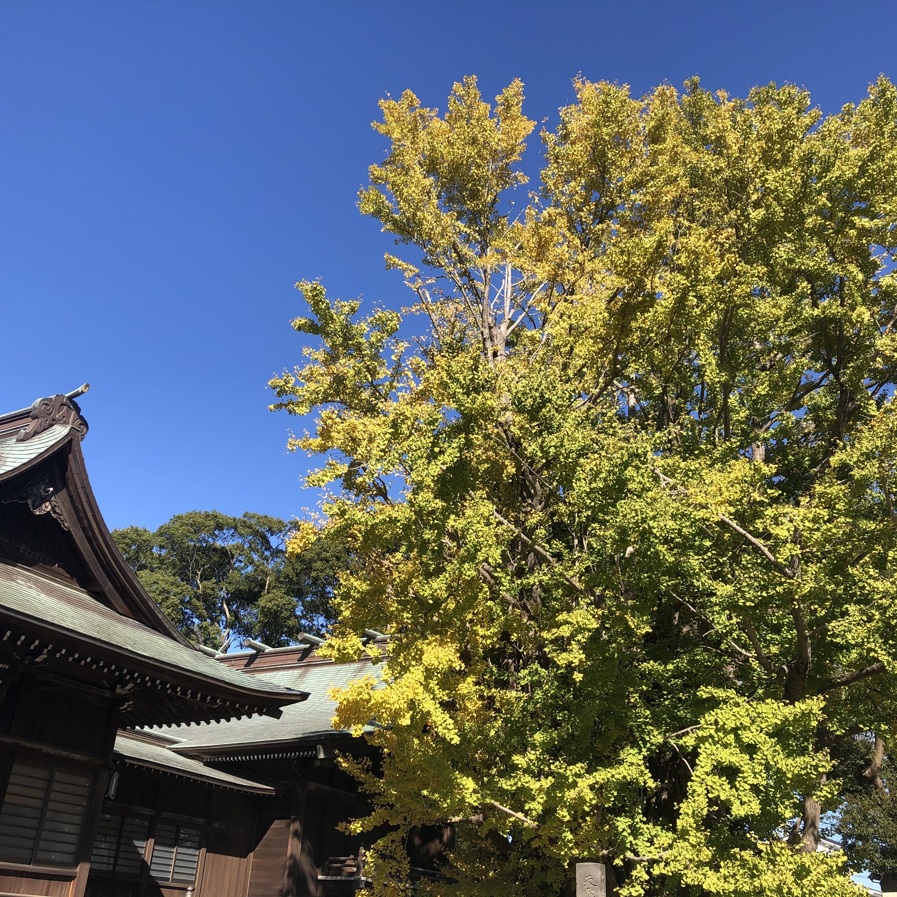 八幡神社の大銀杏 2020年11月
